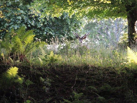 Killarney National Park: олень в парке Килларни