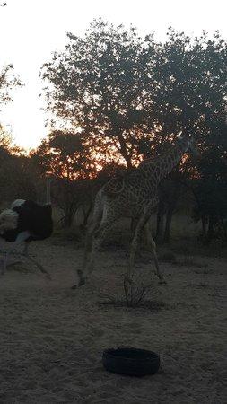 Olievenhoutsrus Guest & Game Farm: Ostrige chasing giraffe :)