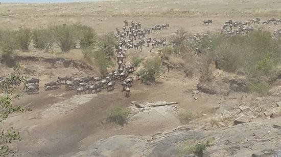 Sarova Mara Game Camp: wildebeest crossing