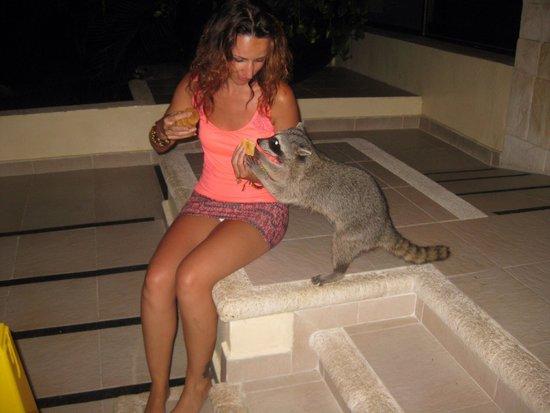 Grand Bahia Principe Tulum : Muy simpáticos los mapaches. Esta prohibido darles comida a los animales, pero no me pude resist