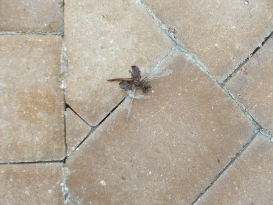 Allure Resort International Drive Orlando: Dead bugs everywhere, pool area never swept or cleaned