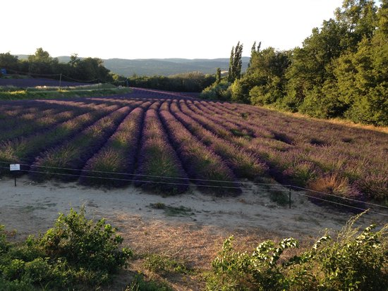 Le Mas des Roses : lavender field.  She is located very close to the Museum of Lavender.