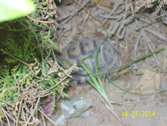 Hotel Riu Tikida Garden: Tortoise in the garden