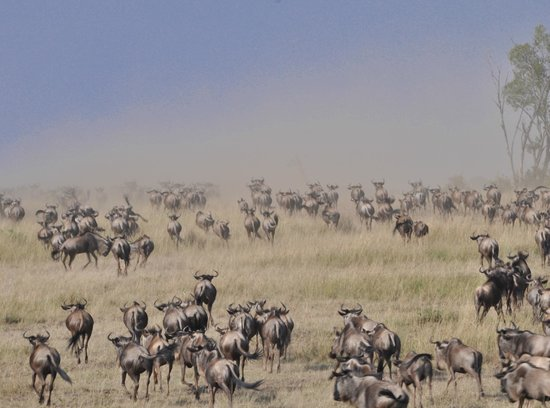 East Africa Adventure Tours and Safaris - Day Tours : wildebeest