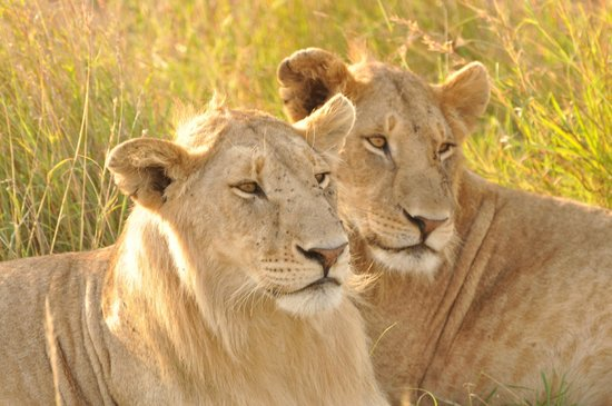 East Africa Adventure Tours and Safaris - Day Tours : lions