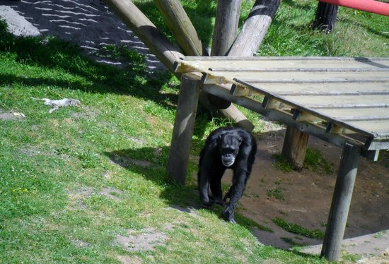Monkey World: chimp