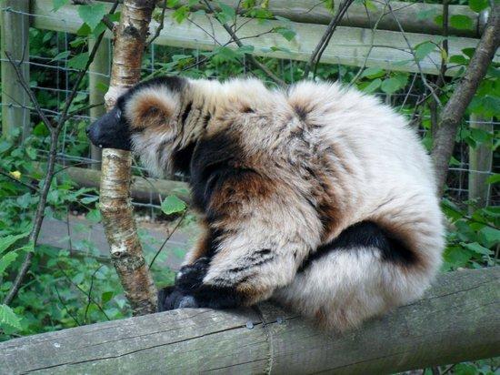 Monkey World: lemur