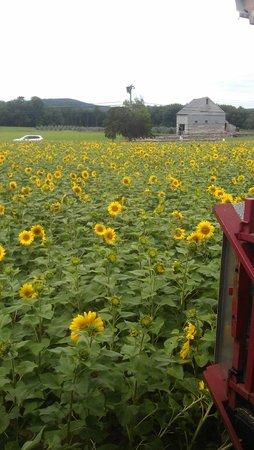 Buttonwood Farm Ice Cream and Sunflower Tour
