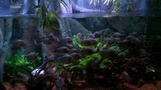 Dingle Oceanworld: Piranhas