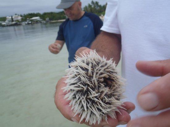 Tahiti Beach: prickly urchin