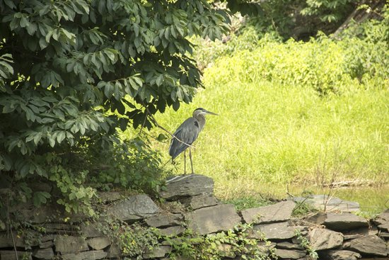 Billy Goat Trail: Great Blue herons galore at the potomac river