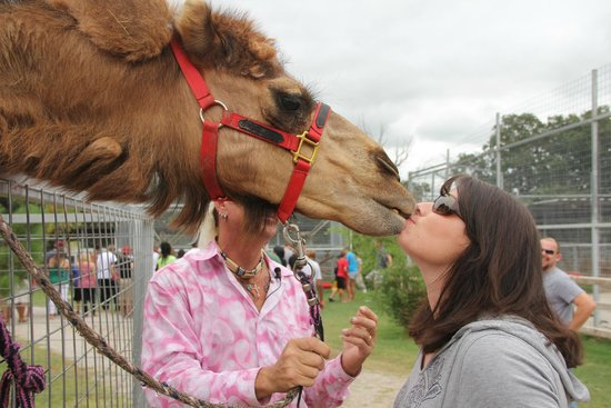 "Greater Wynnewood Exotic Animal Park: ""Kissing"" the camel"