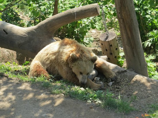Bärenpark: a bear in the new bear park