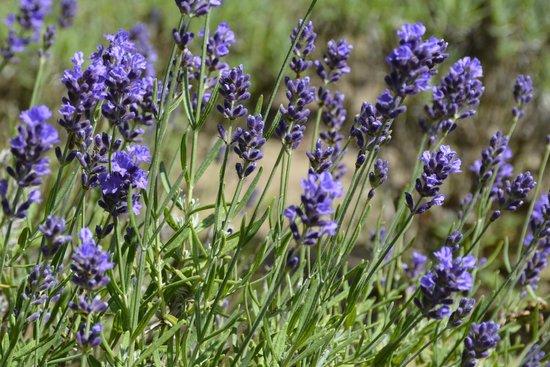 Cape Cod Lavender Farm: So fragrant