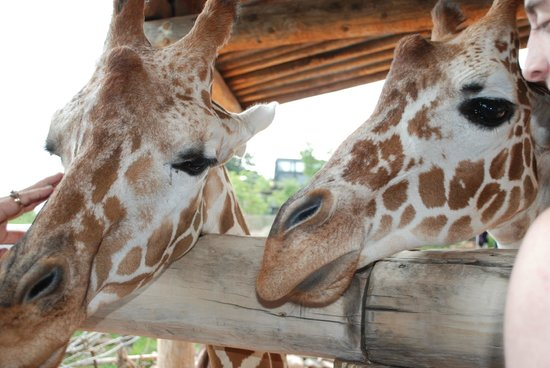 Cheyenne Mountain Zoo : Some hungry giraffes