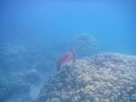 Maluaka Beach: Maluaka turtle