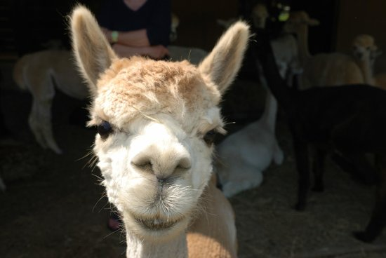 Backroad Discovery Tours: Alpaca