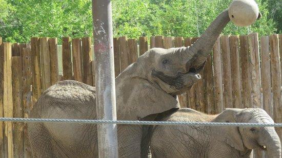 Utah's Hogle Zoo: the elephants entertain every day.....