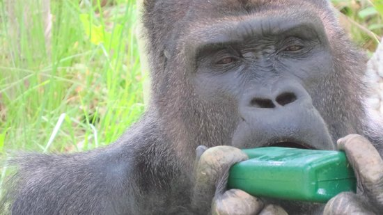 Utah's Hogle Zoo: Gorillas and Orangutans abound