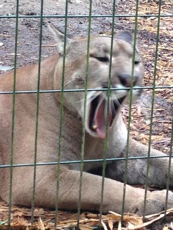 Amazona Zoo: Sleepy Puma