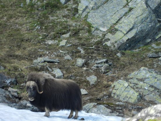 Kongsvold Fjeldstue: picture of musk oxen