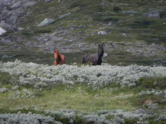 Kongsvold Fjeldstue: picture of icelander horses in park