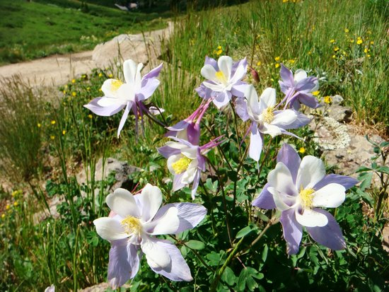 The North Face Lodge: Columbines in American Basin
