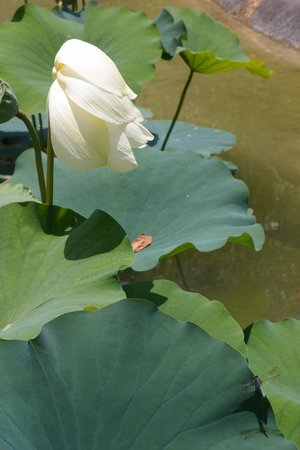 Fruit & Spice Park : Lotus flower