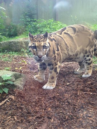 Thrigby Hall Wildlife Gardens: My adopted Clouded Leopard! :)