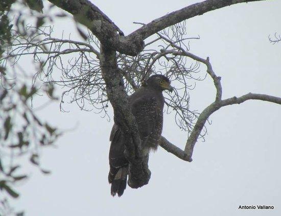 Kaudulla National Park : Aguila en el Parque de Kaudulla