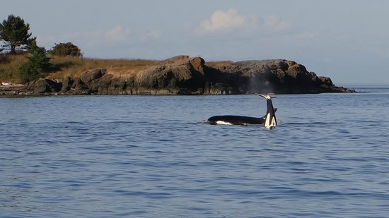 Eagle Wing Whale Watching Tours: Beautiful free orca transient family group
