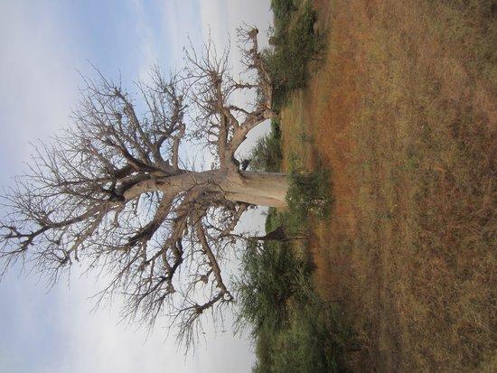 Reserve De Bandia: baobab boom