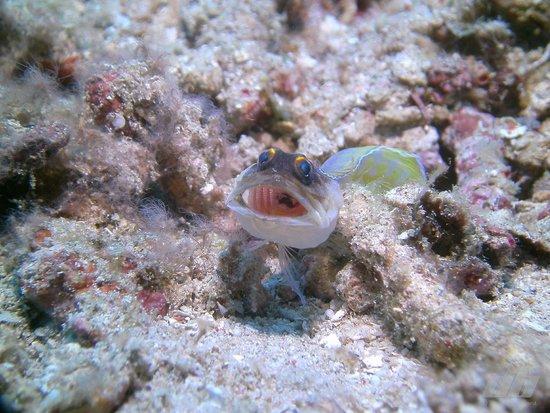 Cocotinos Manado : Jawfish