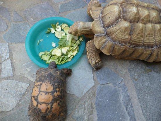 Aquaworld Aquarium & Reptile Rescue Centre: Tortoise (LARGE and regular size)