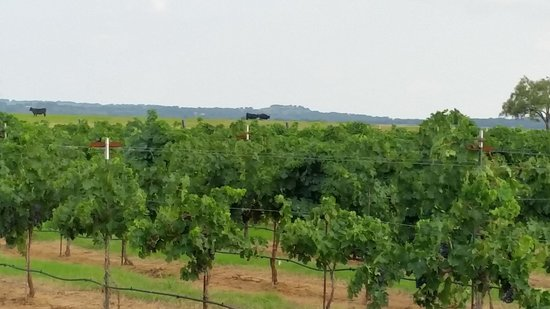 Texas Wine Tours: grapes, cows and hills..great views.