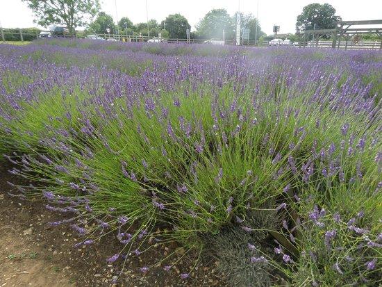 Norfolk Lavender: Pretty as a picture
