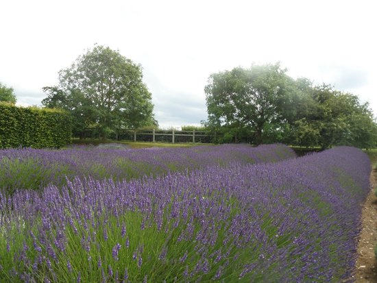 Norfolk Lavender: Pretty purple