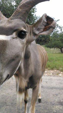 Natural Bridge Wildlife Ranch: The animals were not afraid to get close...
