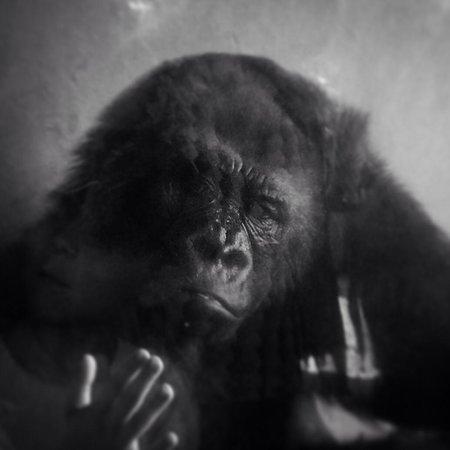 Toledo Zoo: Gorilla