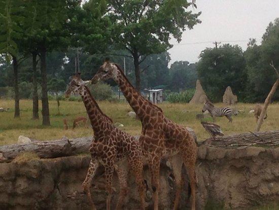 Toledo Zoo: Giraffes