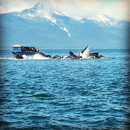 Weather Permitting Alaska - Whale Watching: Group of humpback whales bubble net fishing