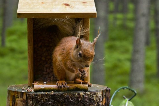 Lazy Duck Hostel, Eco Cabins & Lightweight Camping Ground: A red squirrel having breakfast - Photo taken from the bed!