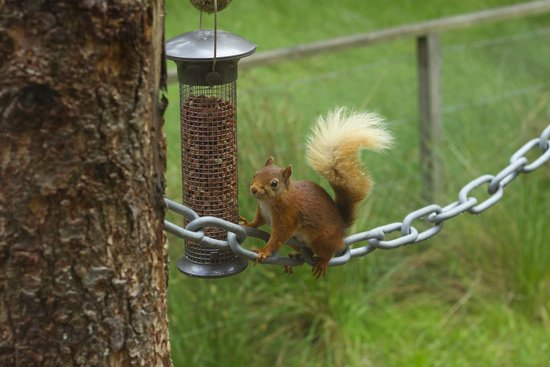 Lazy Duck Hostel, Eco Cabins & Lightweight Camping Ground: A red squirrel on the feeder