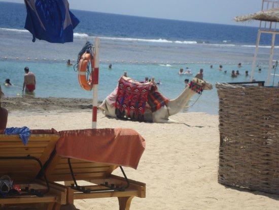 LTI Akassia Beach: Chameaux à loa plage...