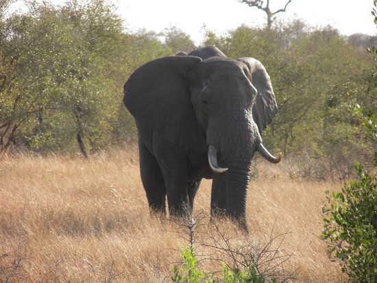 Tremisana Game Lodge: Just one of the so many elephants