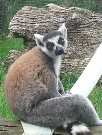 Axe Valley Wildlife Park: Ring tailed Lenur