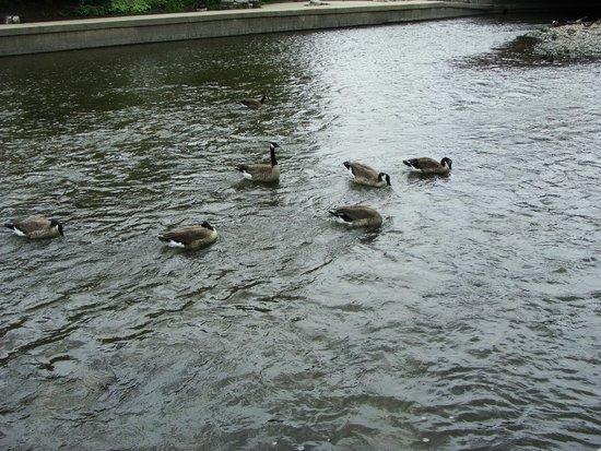 Ducks at the Napervile Riverwalk