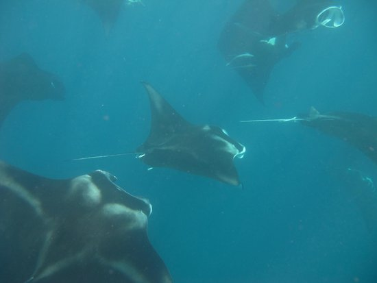 Sailing Fiji : over a 100 Mantas feeding around the yacht is a sight not 2 be missed!!