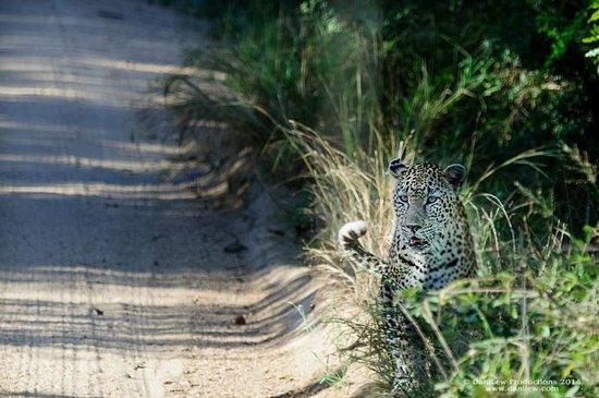 Tydon Safari Camp: Leopard in the road