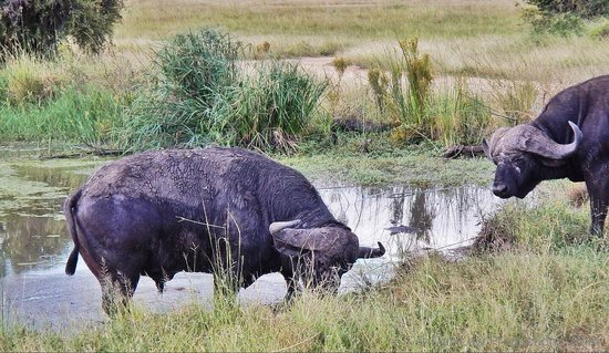 Tydon Safari Camp: Cape Buffalo at Sabi Sands